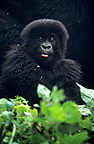 Young Mountain Gorilla at the foot of his mother Rwanda (Mountain gorilla)
