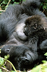 Mountain Gorilla sucking its mother Rwanda (Mountain gorilla)