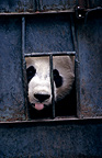 Portrait of a Giant Panda in cage Wolong Reserve China  (Giant panda )