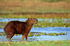 Capybara adult careful in Llanos of Venezuela (Capybara)