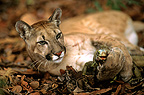 Puma playing with an iguana before eating it Venezuela�