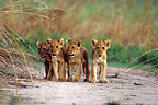 Group of lions on a runway Central African Republic� (African lion)