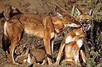 Social contact between Simian jackals and youngs Ethiopia� (Simian jackal)