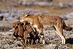 Simian jackal female feeding cubs Ethiopia� (Simian jackal)
