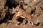 Play fighting between Simian jackal cubs Ethiopia� (Simian jackal)