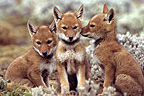 Simian jackal cubs near the den Ethiopia� (Simian jackal)