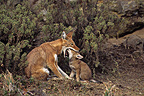 Simian jackal female feeding its cub Ethiopia� (Simian jackal)