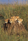 Group of young Cheetahs careful Masaï Mara Kenya (Cheetah)