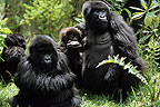 Group of Mountain Gorillas careful around Rwanda (Mountain gorilla)