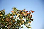 Monarchs migrating Florida USA