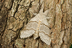 Nocturnal Butterfly resting on a tree trunk France