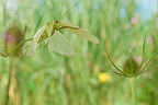 Great Green Bush-cricket flying in a herbaceous formation