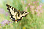 Old World Swallowtail taking off from a flower France
