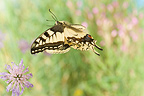 Old World Swallowtail flying in a herbaceous formation