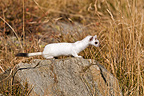 Ermine moulting in autumn careful on a rock France (Ermine)