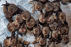 Schreibers' Long fingered Bats hibernating in a cave France (Bent-winged Bat)