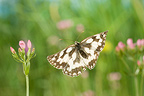 Marbled White flying in a herbaceous formation France