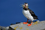 Atlantic Puffin with grass for its nest Scotland (Atlantic Puffin)