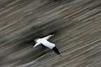 Northern Gannet in flight Unst Island Scotland (Northern Gannet )