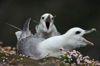 Couple of northern fulmars in courtship display Shetland (Northern fulmar)