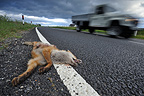 Red fox cub crashed on a road Scotland (red fox)