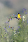 Male Black headed Bunting on a Bugloss in bloom Bulgaria (Black-headed Bunting)