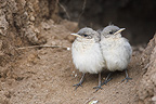 Young Northern Wheatears careful around Bulgaria (Northern wheatear )