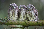 Siblings of Pygmy Owl on a branch Austria (Pygmy Owl)
