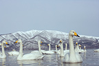 Whooper Swans swimming on Lake Kussharo in winter Japan (Whooper swan)