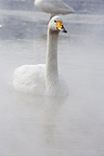 Whooper Swan on Lake Kussharo in winter Hokkaido Japan  (Whooper swan)