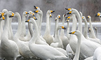 Group of Whooper Swans Lake Kasshuro Hokkaido Japan (Whooper swan)