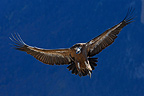 Griffon vulture descending to carcass, Ordesa National Park, Pyrenees, Spain