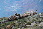 Griffon vultures on carcass, Ordesa National Park, Pyrenees, Spain