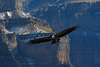 Griffon Vulture in flight in front of a cliff, Ordesa National Park, Pyrenees, Spain