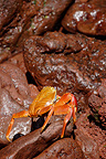 Sally lightfoot crab on lava pebbles Galápagos  (crab)