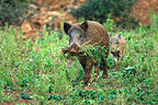 Wild Boar carying the grass to a nest Franche-Comté France (Wild boar)