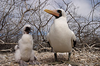 Masked booby adult keeping young at nest Galapagos (Masked booby)