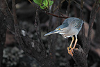 Striated Heron fishing in a mangrove Galapagos (Striated Heron)