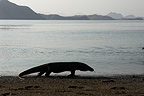 Komodo dragon ar the edge of water Komodo National Park (Komodo dragon)