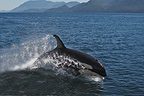 Orcas jumping on the surface of Johnstone Strait Canada (Orca)