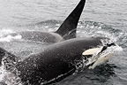 Orcas swimming on the surface of Johnstone Strait Canada (Orca)