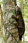 Male New Caledonian Giant Gecko camouflaged New Caledonia (Leach's Giant Gecko)