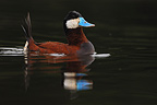 Male ruddy duck in breeding plumage France (Ruddy Duck)