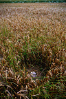 Montagu's harrier chicks in nest in a field of barley France (Montagu's Harrier)