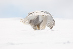 Female Snowy Owl flying landing on snow (Snowy Owl)