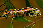 Caterpillar on a rod in a private breeding