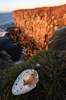 Egg hatched of a common Guillemot on a cliff Iceland (Common Guillemot )