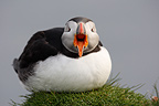Atlantic puffin threatening the phorographer Iceland (Atlantic Puffin)