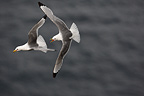 Kittiwake pursuing an other in flight Iceland� (Kittiwake)