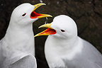 Courtship behaviour of Kittiwakes Iceland (Kittiwake)
